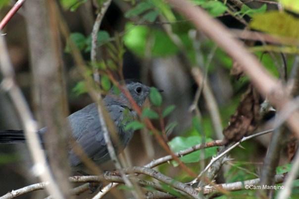 Catbird in bushes 2