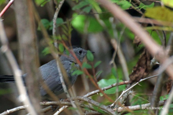Catbird in bushes 2