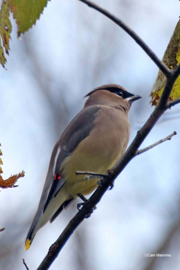 Cedar Waxwing with waxwing showing