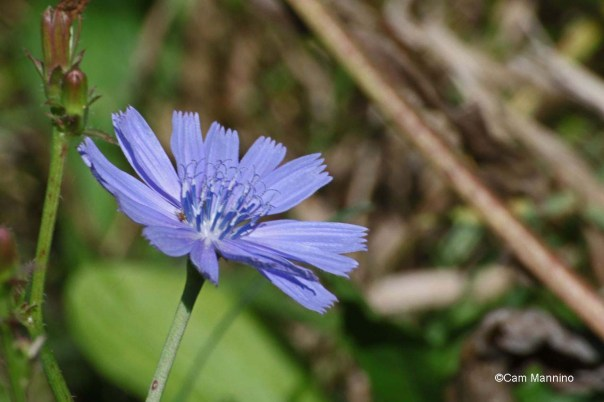 Chicory late in the season