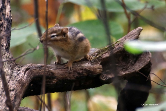 Chipmunk squinting