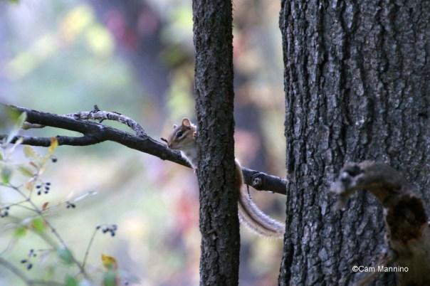 Chipmunk up a tree