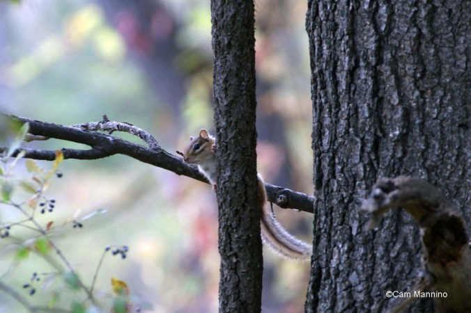 Chipmunk up a tree