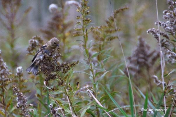 Female goldfinch winter plumage