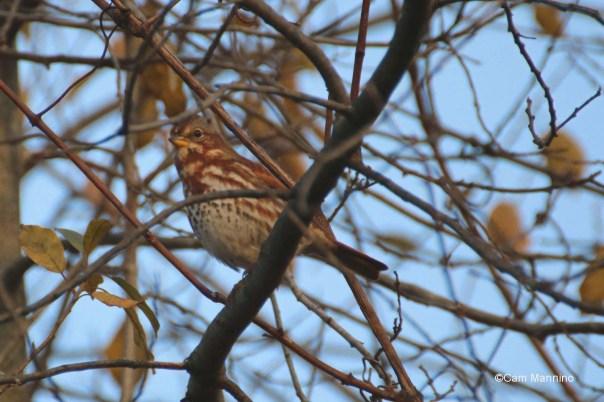 Fox sparrow2?