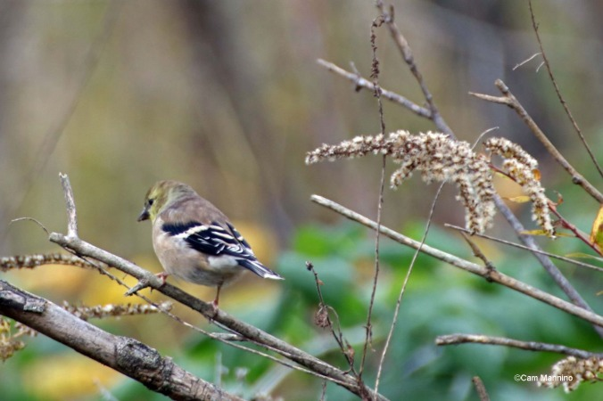 Goldfinch Fall plumage