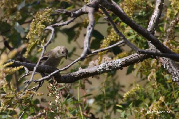 Goldfinch winter non-breeding