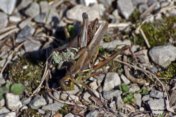 grasshoppers mating