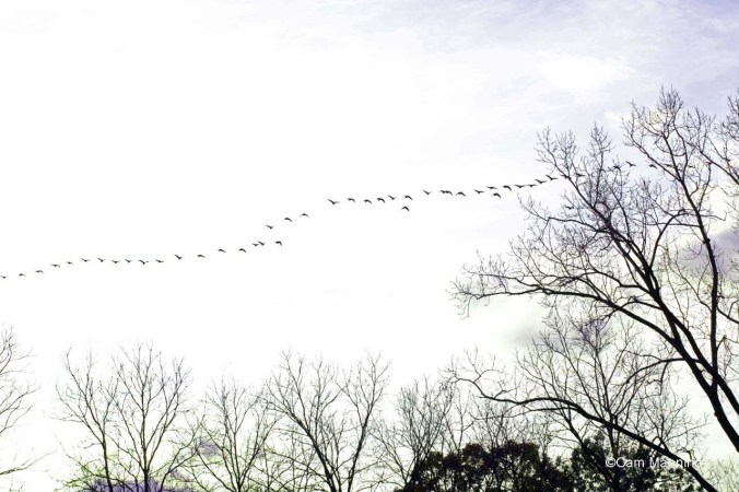 long line of geese