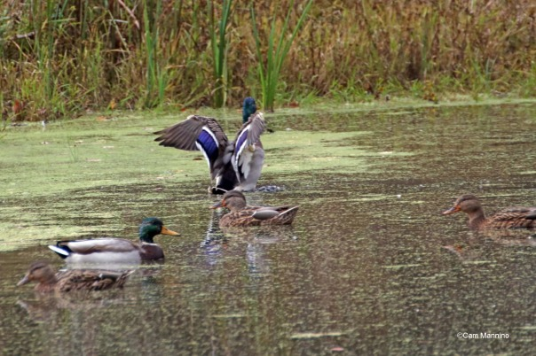 Mallards in marsh