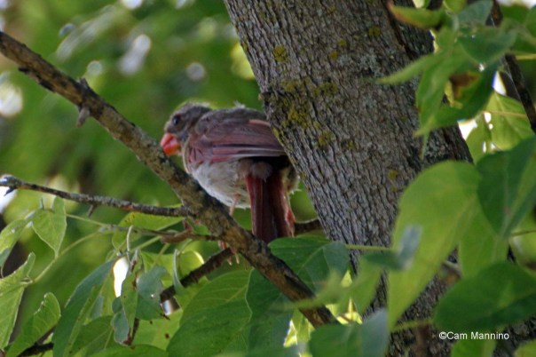 molting female cardinal