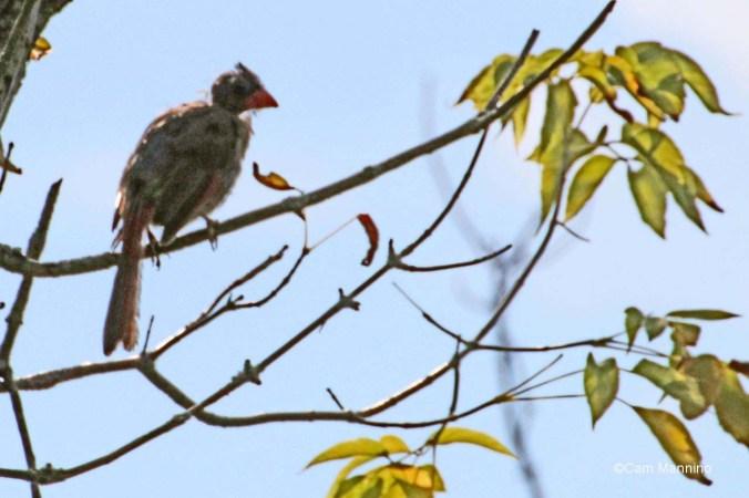 molting female cardinal2