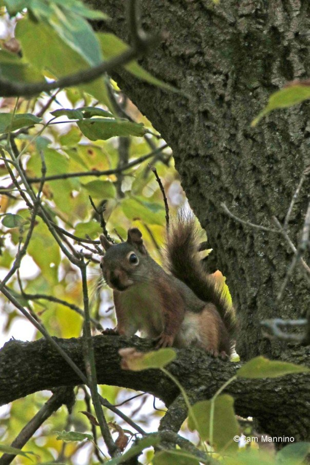 New mom red squirrel