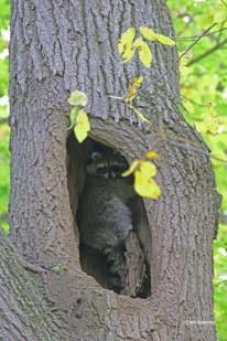 Raccoons are native predators of bird eggs.