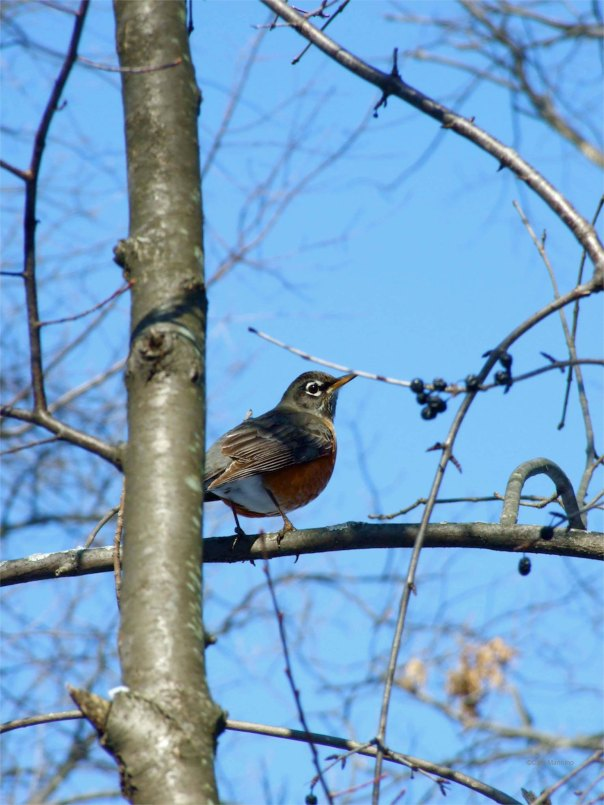 American Robin on a cold day