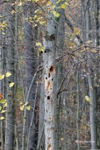 Snag w chickadee woodpecker holes