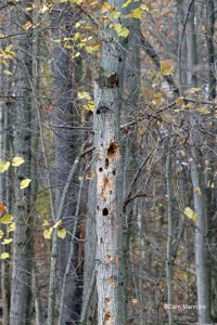 Snag w chickadee woodpecker holes
