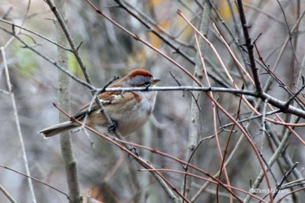 Tree sparrow at Bear Creek