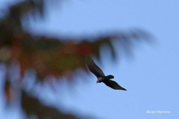 Turkey vulture and Staghorn sumac
