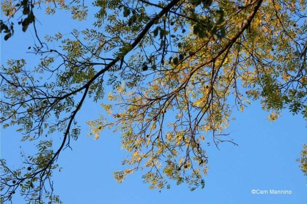 Walnut in morning sun