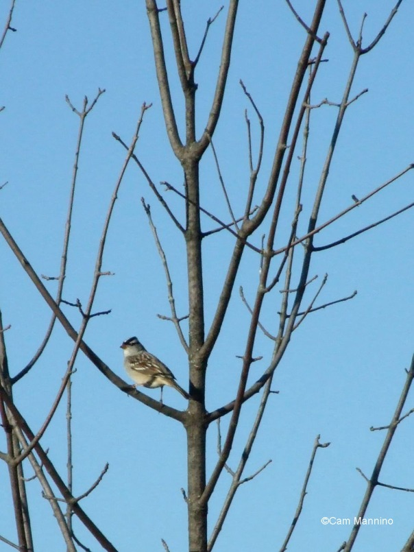 white crowned sparrow bc