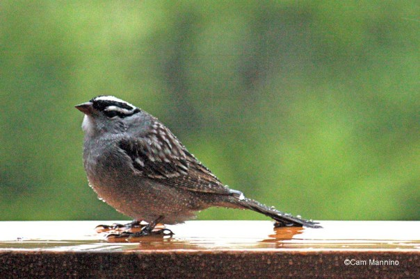 white crowned sparrow2