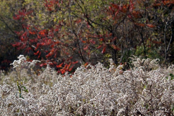 White goldenrod autumn