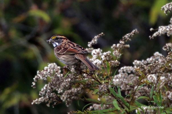 White throated sparrow closeup
