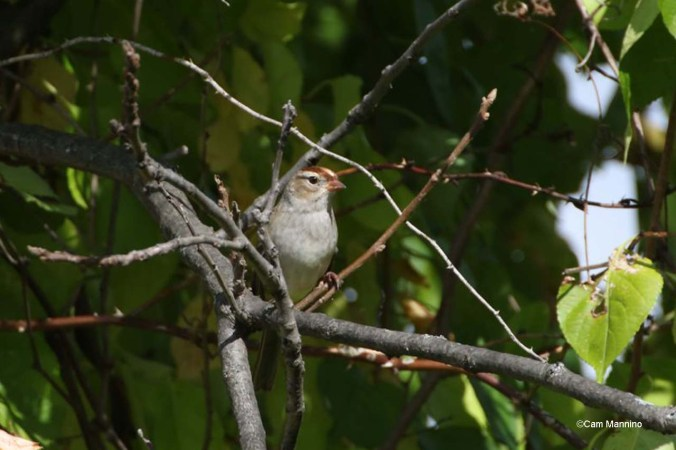 White-throated Sparrow first year2