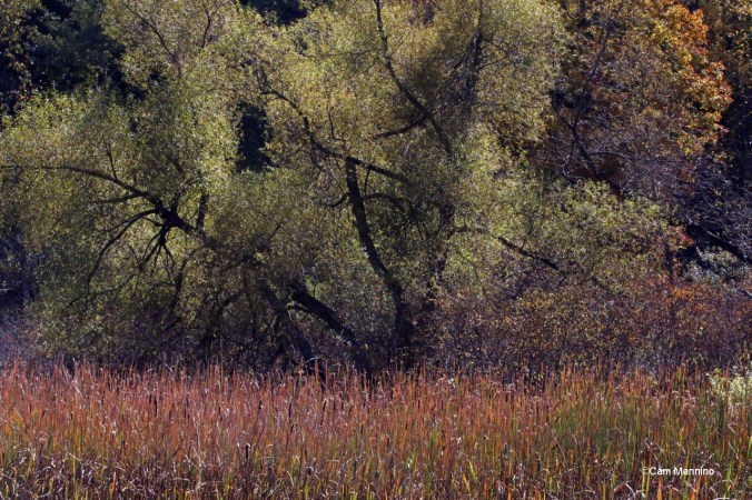 Willow in the marsh autumn
