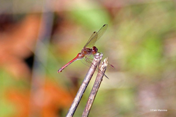 Yellow-legged Autumn Dragonfly