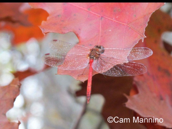 Yellow legged autumn dragonfly