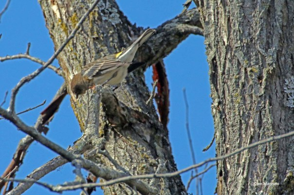 Yellow rumped warbler's yellow rump