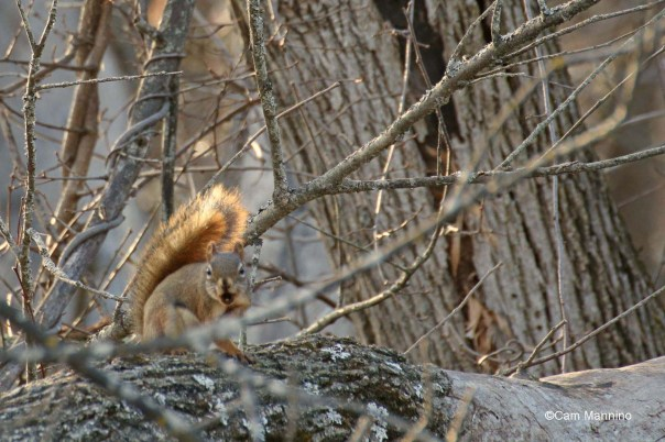 Aggressive red squirrel