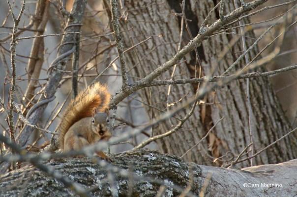 Aggressive red squirrel