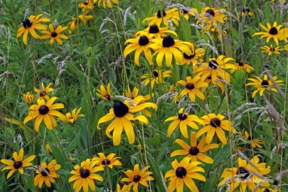 Black-eyed Susans in bloom