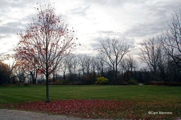 Bur oak shedding leaves