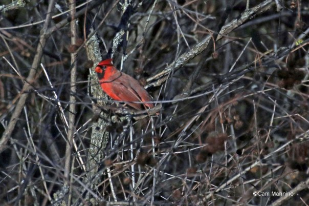 Cardinal male in swamp