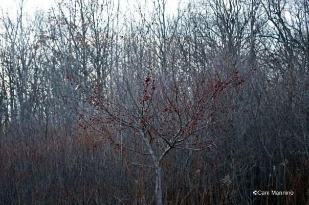 Crabapple tree dusk