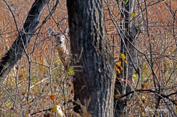 Doe near central wetland