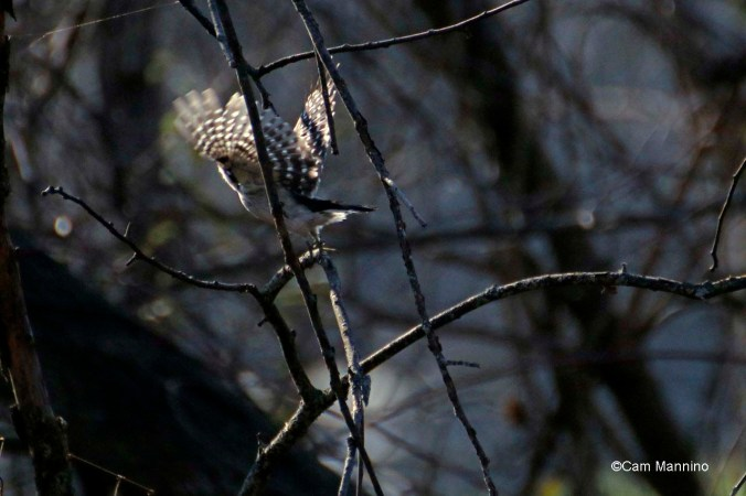 Downy woodpecker takeoff