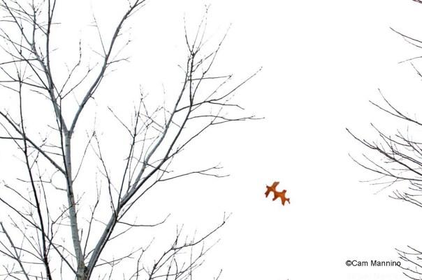 Falling bur oak leaf