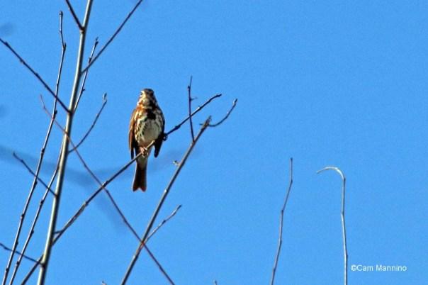 Fox sparrow morning light