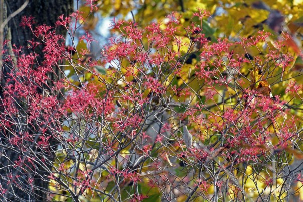 Gray dogwood red against yellow leaves