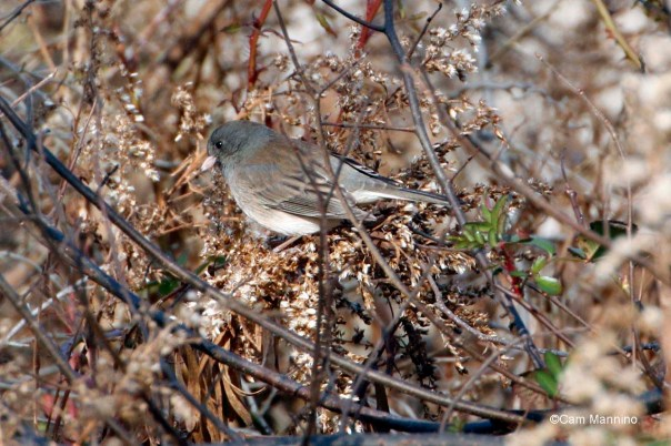 Junco among goldenrod seeds