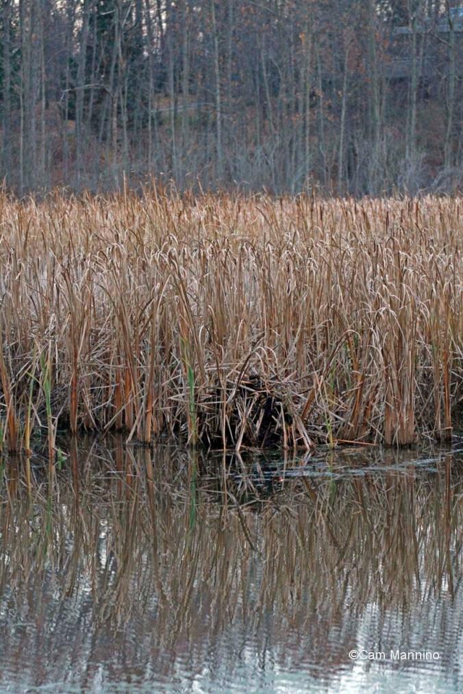 muskrat lodge in marsh