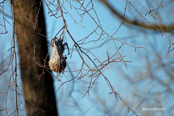 Oriole nest abandoned