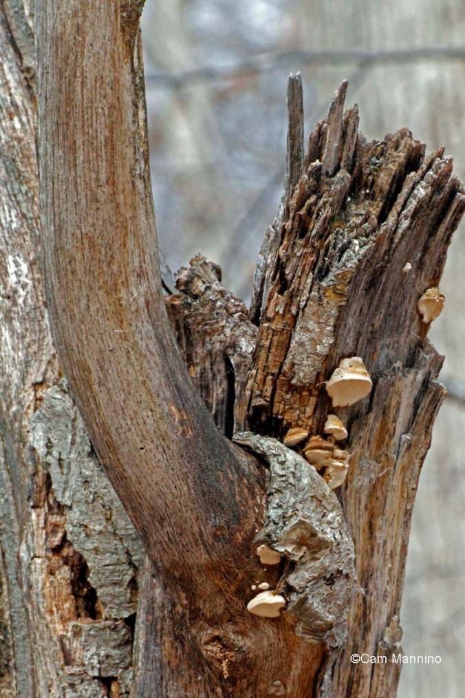 Polyphore fungus