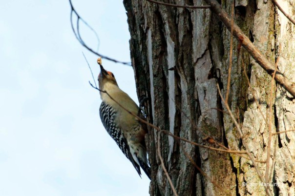 red-bellied woodpecker with nut