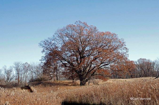 Red Oak Ilsely Nov. 2015